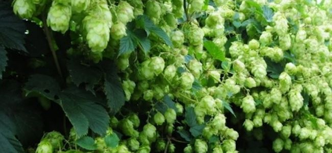 British Hops Association