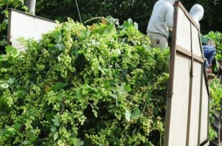 British Hops Association Harvesting