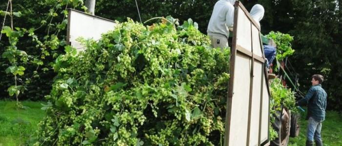 British Hops Association Harvesting